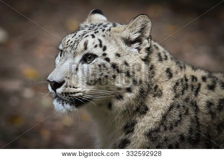 Portrait Of A Snow Leopard Close-up In The Wild.