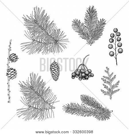 Hand-drawn Branches And Cones Of Spruce, Pine, Larch, Rowan Berries, Juniper. Vintage Black And Whit