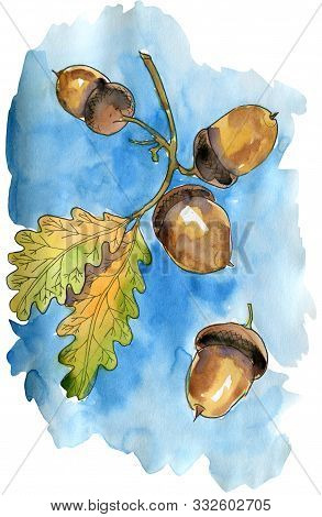 Watercolor Illustration With Oak Branch With Leaves And Acorns