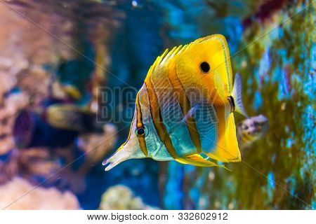 Beautiful Closeup Of A Copperband Butterflyfish, Tropical Fish Specie From The Pacific Ocean