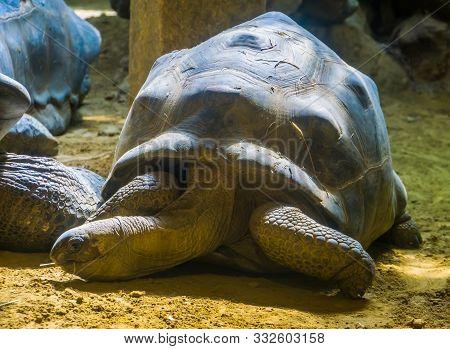 Portrait Of A Giant Aldabra Tortoise, Worlds Largest Land Dwelling Turtle Specie From Madagascar, Vu
