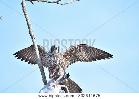 A Peregrine Falcon Holding On To Its Prey While Perched Upon A Branch.    Vancouver Bc Canada