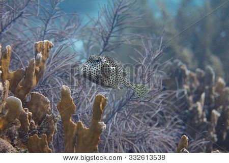 Spotted Trunkfish On Coral Reef Off Bonaire, Dutch Caribbean