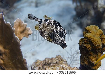 Smooth Trunkfish On Coral Reef Off Bonaire, Dutch Caribbean