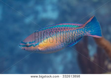 Princess Parrotfish On Coral Reef Off Bonaire, Dutch Caribbean