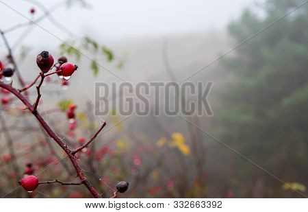 Beautiful Red Rose Hips With Water Droplets At Late Autumn Near Pine Forest On A Cold Fogy Day.