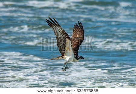 An Osprey Catches A Fish To Eat.