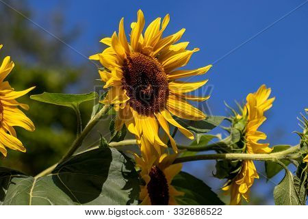 View Of Sunflower On The Blue Sky Background In The Summer Time Garden. Photography Of Lively Nature