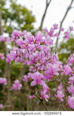 Rhododendron Reticulatum Flower
