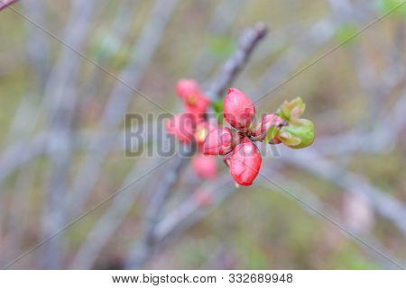 Pieris Japonica Flower