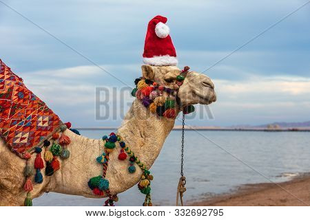 Camel In Santa Claus Hat On A Resort Beach In Egypt. Egypt Christmas Holidays Background.