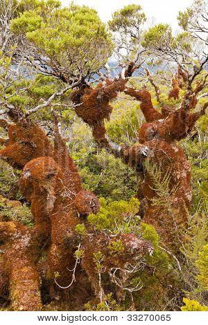 Mountain beech rain forest in Fjordland NP, NZ