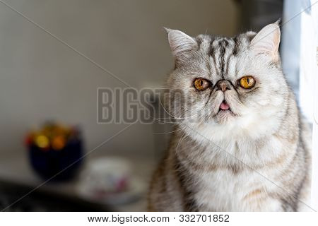 poster of Persian gray cat with yellow eyes shows tongue.