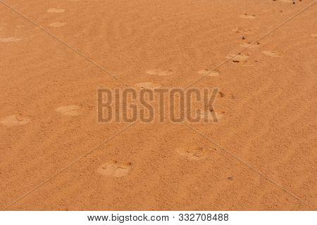 A Set Of Dromedary Camels (camelus Dromedarius) Footprints Or Tracks Across The Desert Sand In The U