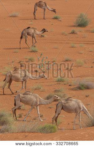 A Portrait View Of A Group Of Dromedary Camels (camelus Dromedarius) Walking Acorss The Desert Sand