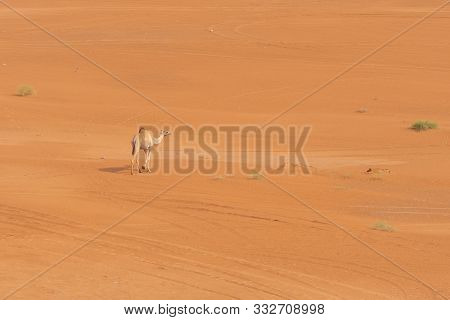 Looking Down At A Lonely Dromedary Camel (camelus Dromedarius) Walking Across The Desert Sand In The