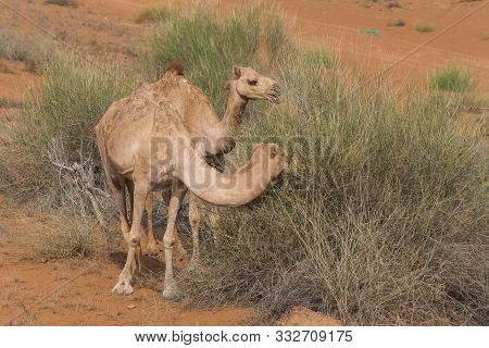 A Pair Of Dromedary Camels (camelus Dromedarius) Walking And Eating In The Desert Sand In The United