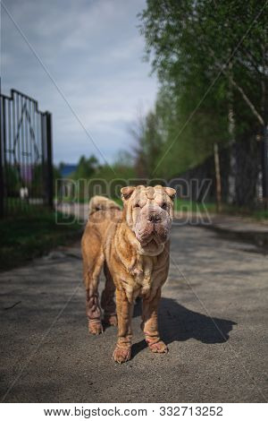 Shar Pei Dog With Leash Standing On Road