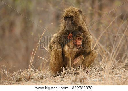 Baboon (papio Ursinus) Mother Hugs Young Cute Baboon Baby. Baboon Love. Baboon Family. Dry Tree In B