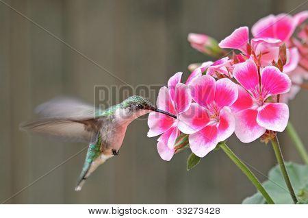 Ruby-throated hummingbird Archilochus colubris feeding on a geranium flower poster