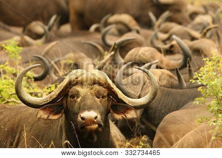 The African Buffalo Or Cape Buffalo (syncerus Caffer) Herd With Strong Bull On Patrol.
