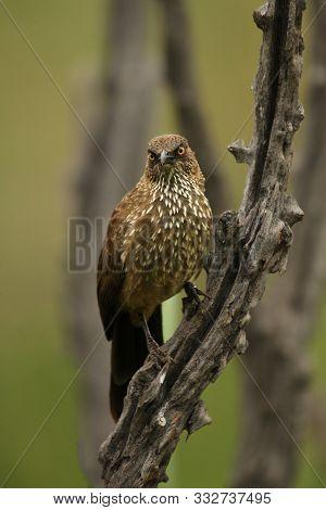Arrow-marked Babbler (turdoides Jardineii) In Pilanesberg Game Reserv (natural Park) Sitting On Bran