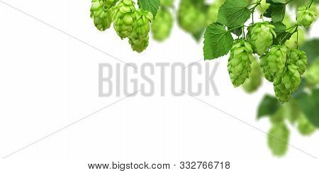 Hop Cones And Green Leaves On White Background. Beer Brewing Ingredients. Beer Brewery Concept. Pano