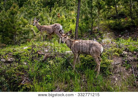 A Pair Of Adolescent Mule Deer At Custer State Park In The Black Hills Of South Dakota.