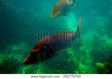 Spangled Emperor (green Snapper) - Ningaloo Reef - Australia