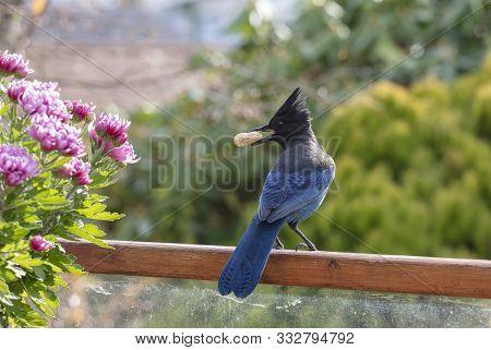 Stellers Jay Bird