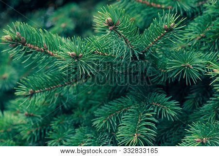 Green Fir Tree Branch. Evergreen, Fir Coniferous Background. Spruce Branch. Frame Of Pine Needles. P
