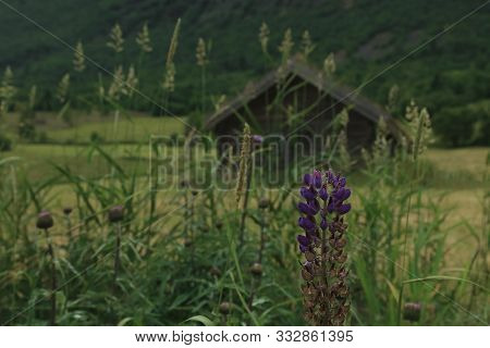 Beautiful Violet Flower With Small Norwegian House And Mountain On Background.