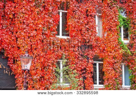 Clambering Plant On The Exterior Wall Of Old House. Autumn Time.