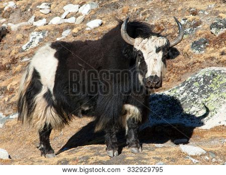 Black And White Yak On The Way To Everest Base Camp - Nepal Himalayas Mountains