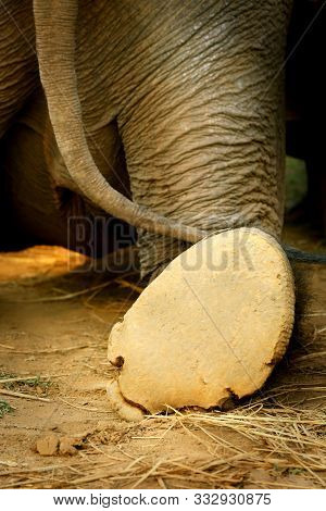 Rear View Elephant Leg Back & Tail Walk Away. Big Elephant Foot Going Away Saying Goodbye, Bye, So L