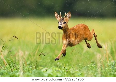 Young Roe Deer Buck With Small Antlers Jumping In The Rain In Summertime
