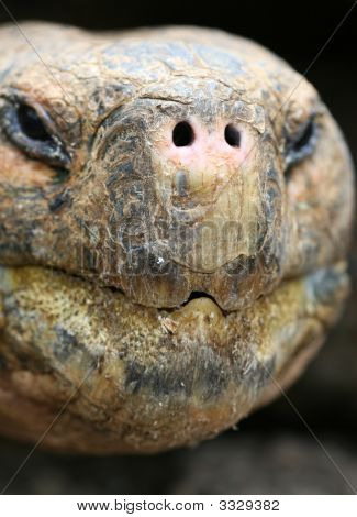 Close up Giant Galapagos Tortoise - Head Shot; on Santa Cruz Island poster