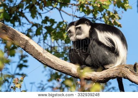 Mantled Guereza (colobus Guereza) Sitting High On The Branch