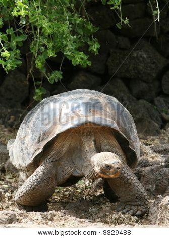 Giant Galapagos Tortoise on Santa Cruz Island poster