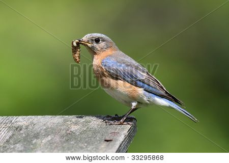 Female Eastern Bluebird (Sialia sialis) with an insect and a green background poster
