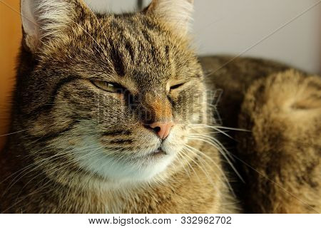 Cropped Shot Of Tabby Cat. Tabby Cat Blinks. Animals, Pets Concept.