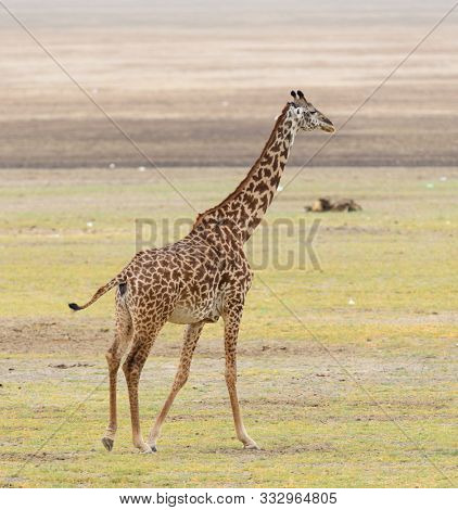 Closeup of Masai Giraffe (scientific name: Giraffa camelopardalis tippelskirchi or
