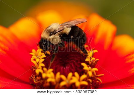 Bumble Bee On A Red And Yellow Zinnia
