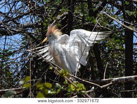 Garça Se Prepara Para Voar, Saindo Do Meio Das árvores