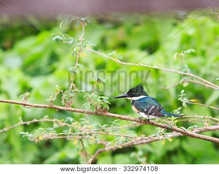Green Kingfisher (chloroceryle Americana) Perched On A Small Branch With A Natural Vibrant Green For