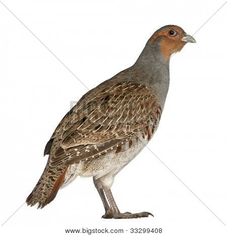 Portrait of Grey Partridge, Perdix perdix, also known as the English Partridge, Hungarian Partridge, or Hun, a game bird in the pheasant family, standing in front of white background poster