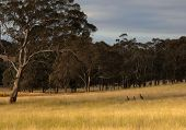Kangaroo hiding in toll grass. Country New South Wales. Australia. poster