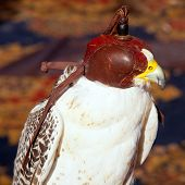 bird falcon with falconry blind hood in brown leather poster