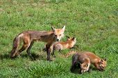 Red female fox with three pups feeding in a neighborhood yard in the afternoon poster
