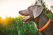 From above of funny Weimaraner with grey wool sitting with open chaps and big tongue among green grass on sunny day poster